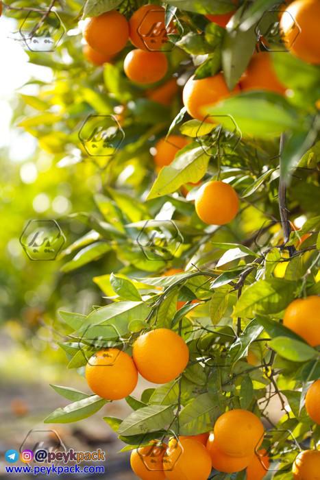 درخت پرتقال